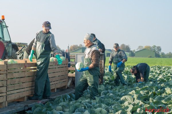 Erntehelfer auf dem Hof von Landwirt Witt in Dithmarschen - ein eingespieltes Team