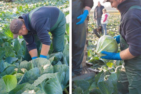 Die Kohlernte ist harte Arbeit - trotzdem arbeiten die Erntehelfer umsichtig! Die wissen was sie tun!