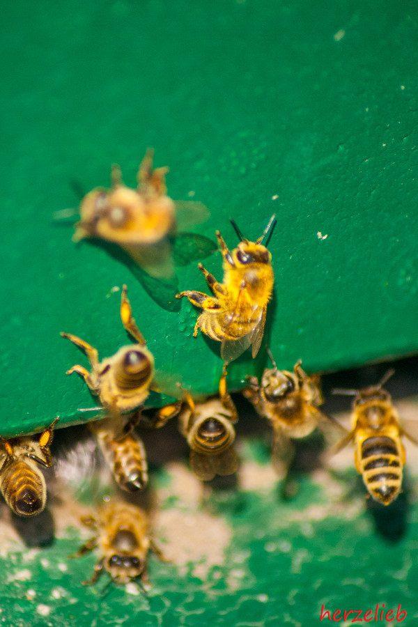 Auf meinem Foodblog herzelieb gibt es jetzt auch Bilder von Bienen, Honig und der Imkerei