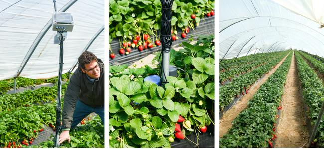 Erdbeeren aus Huelva - automatische Bewässerung und Düngung