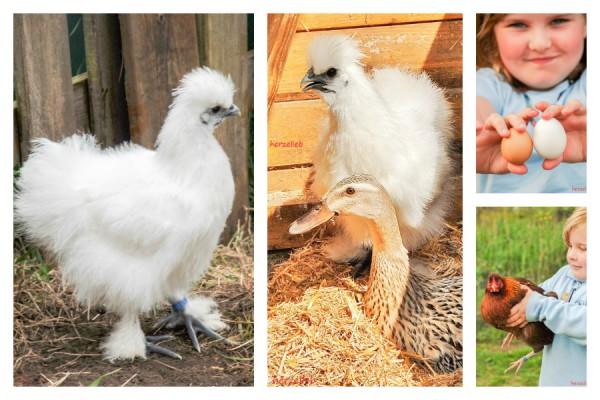 Glückliche Hühner von herzelieb